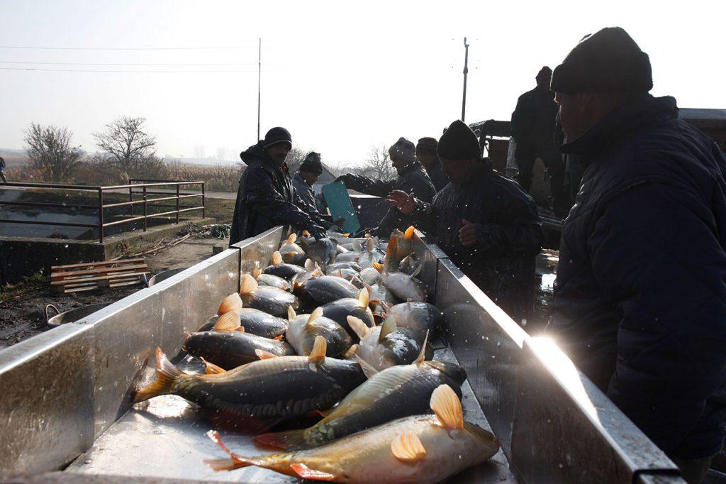 šaran_dtd_ribarstvo